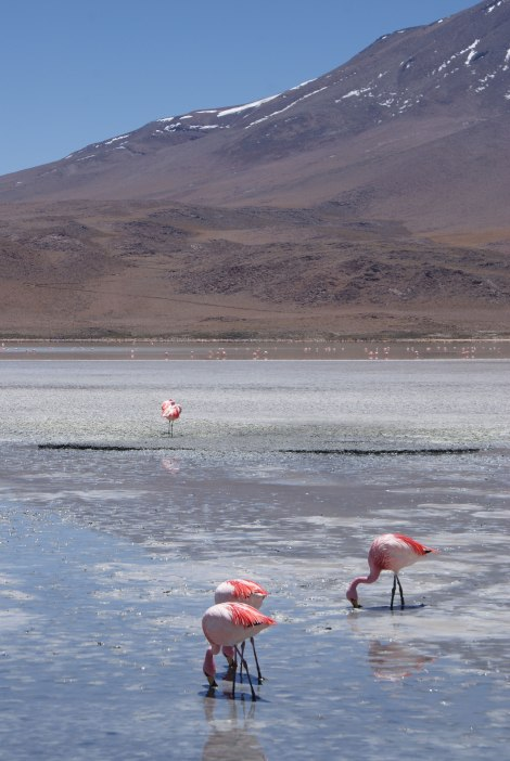 Flamingos der Wüste